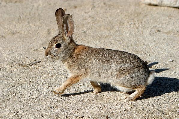Rabbits Doheny State Beach Interpretive Association