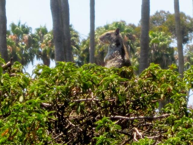 California (Beechy) Ground Squirrel