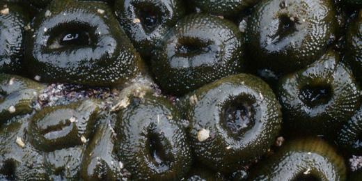 Sea Anemone Doheny State Beach Interpretive Association