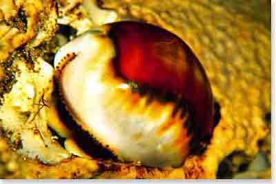 Chestnut Cowrie