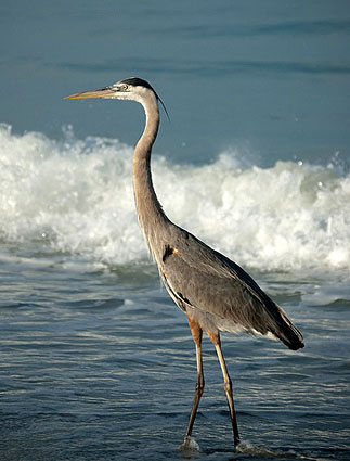 Great Blue Heron Doheny State Beach Interpretive Association