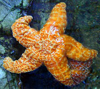 Sea Stars (Starfish)